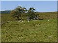 SN7975 : Grazing on Bryn y Gŵydd by Nigel Brown