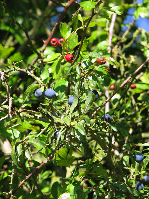 Blackthorn and hawthorn berries