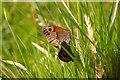 SZ4083 : Meadow Brown  Butterflies, Mottistone Manor Garden, Isle of Wight by Christine Matthews