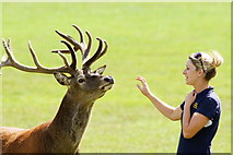 TQ3643 : Red Deer at the British Wildlife Centre, Lingfield, Surrey by Peter Trimming