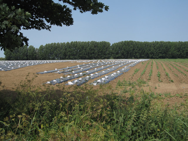 Vegetable field by Coldham Bank