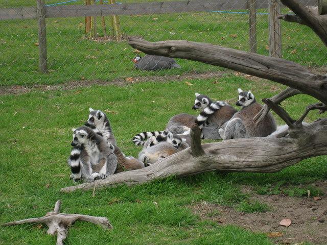 Lemurs at Wingham Wildlife Park