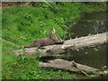 TR2558 : Otter at Wingham Wildlife Park by Oast House Archive