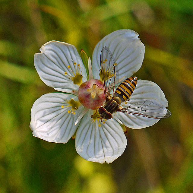 Hoverfly on Grass-of-parnassus