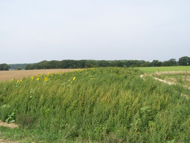 Sunflowers at the field's edge