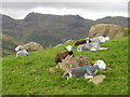 NY2706 : Sheep in Mickleden. by Peter S