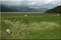 SH6214 : Sheep beside the Mawddach estuary by Philip Halling