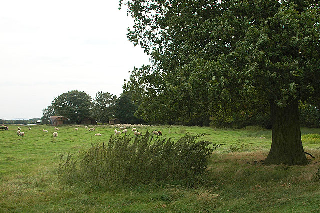 Sheep grazing on a disused airfield