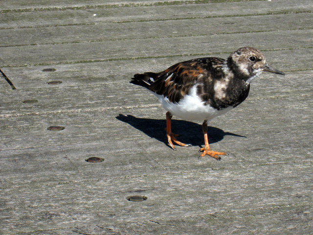 Ruddy Turnstone on Southend Pier