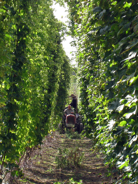 Hop Picking Tractor and Trailer