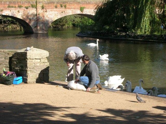 Swan ringing, River Avon, Stratford-Upon-Avon