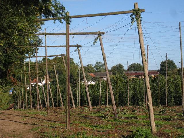 Hop field at Kitchenham Farm