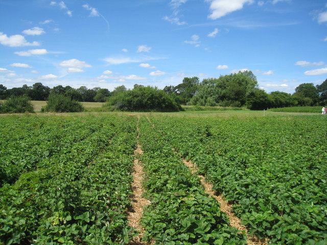 Strawberry fields - yum! yum!