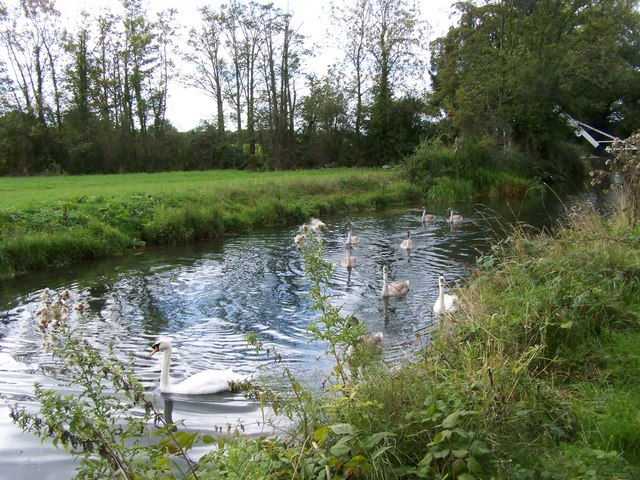 Swans and cygnets on the Basingstoke Canal