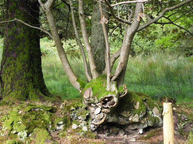 Tree,  Tawnaghlaghan