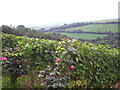 SX0267 : Vines at Camel Valley Vineyards by Rod Allday