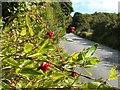 NS3578 : Honeysuckle berries by Lairich Rig