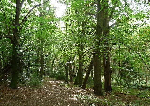 Woodland near Bedham