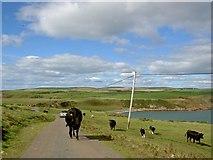 NX1430 : Beware cows on the road by Steve  Fareham