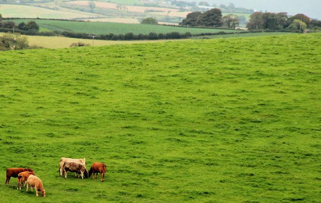 Cattle near Newtownards