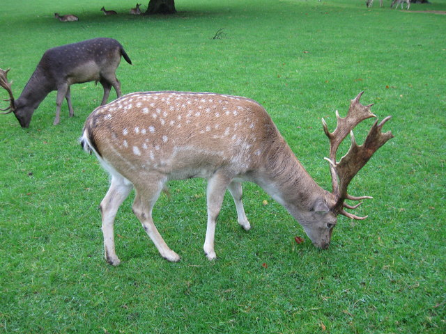 Fallow Deer, Whitworth Hall Country Park