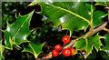 J3268 : Holly berries, Belfast by Albert Bridge