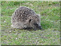 NH7994 : Young Hedgehog by sylvia duckworth