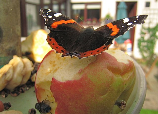 Newburgh: knee deep in Red Admirals