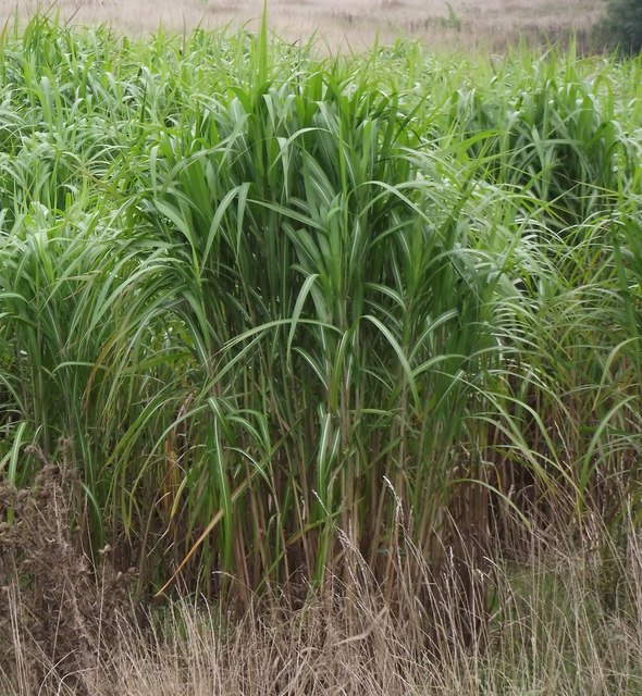 Miscanthus Grass near Bonby