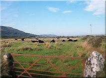 SH2428 : Cattle near Ty Mawr by Eric Jones