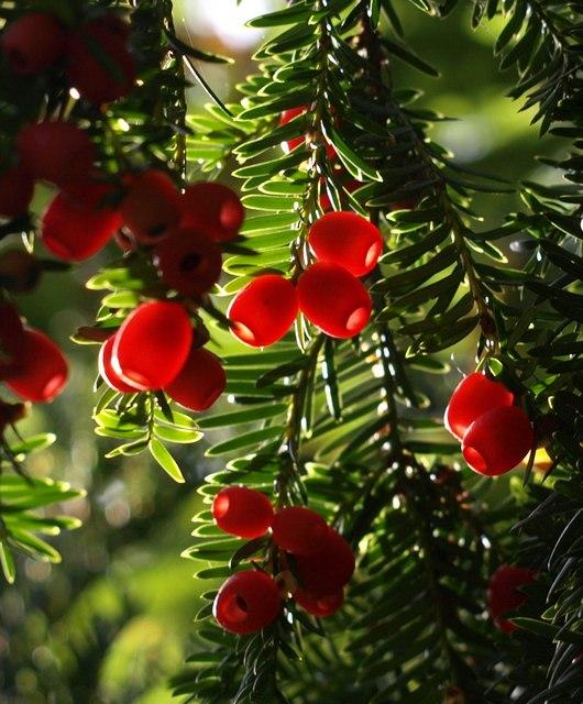 Yew berries, Greenway