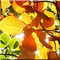 SO6424 : Beech leaves in autumn by Jonathan Billinger