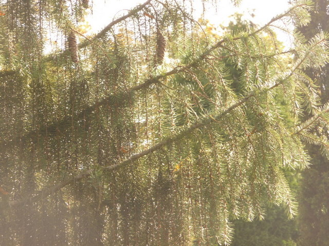 Exbury: detail of a weeping spruce by Chris Downer