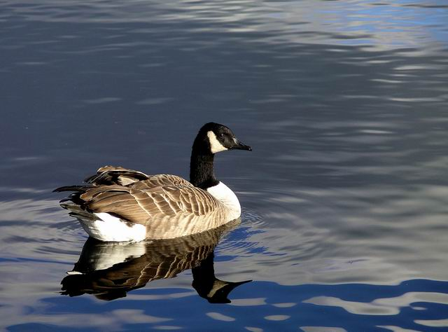 Canada Goose, Castle Loch