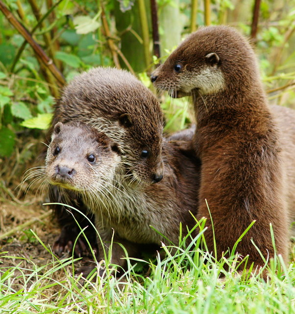 Otters at the British Wildlife Centre, Newchapel, Surrey