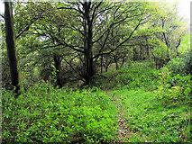 SJ8959 : Dropping into the woods by Jonathan Kington