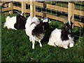 NZ0493 : Goats off the roof by Oliver Dixon