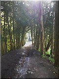 TQ1352 : Bridleway through yew trees at Polesden Lacey by Shazz