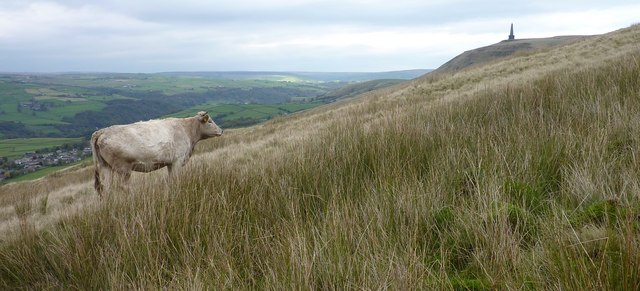 Cow with a View, Stoodley Pike