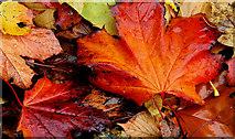 J3371 : Autumn leaves, Belfast by Albert Bridge