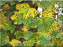 NT6072 : Tar spot on Sycamore by M J Richardson