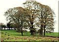 J2866 : Trees near Lambeg (2) by Albert Bridge