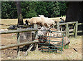 SJ5305 : Sheep, Eaton Mascott (1) by Stephen Richards