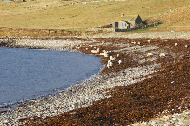Sheep feeding on seaweed on Westing beach