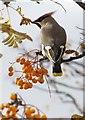 NH7168 : Waxwing (Bombycilla garrulus) by sylvia duckworth