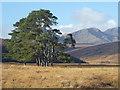 NC4111 : Caledonian Pines by sylvia duckworth
