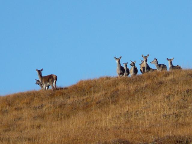 Watchful deer, Glen Cassley