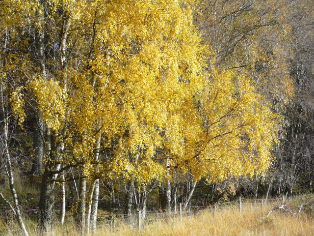 Autumnal Birches near Gruinards Lodge