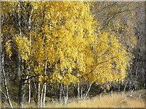 NH5292 : Autumnal Birches near Gruinards Lodge by sylvia duckworth