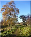 NY9623 : Autumn birch by the Teesdale Railway walk by Andy Waddington